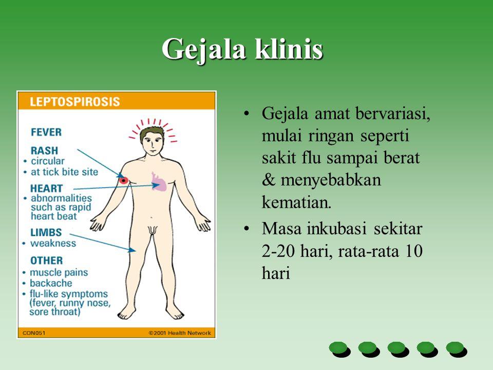 Fase gejala leptospira Stadium Pertama (fase leptospiremia) : Demam menggigil Sakit kepala Malaise Muntah Konjungtivitis Rasa nyeri otot betis dan punggung Gejala-gejala diatas akan tampak antara 4-9 hari Gejala yang Kharakteristik : Konjungtivitis tanpa disertai eksudat serous/porulen (kemerahan pada mata) Rasa nyeri pada otot-betis