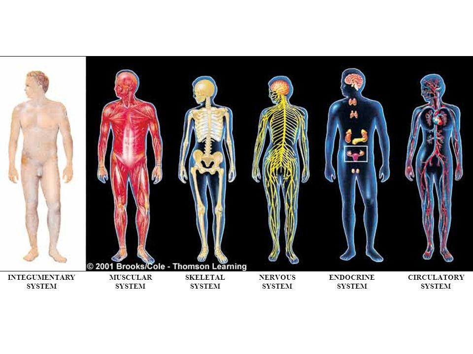 INTEGUMENTARY SYSTEM MUSCULAR SYSTEM SKELETAL SYSTEM NERVOUS SYSTEM ENDOCRINE SYSTEM CIRCULATORY SYSTEM