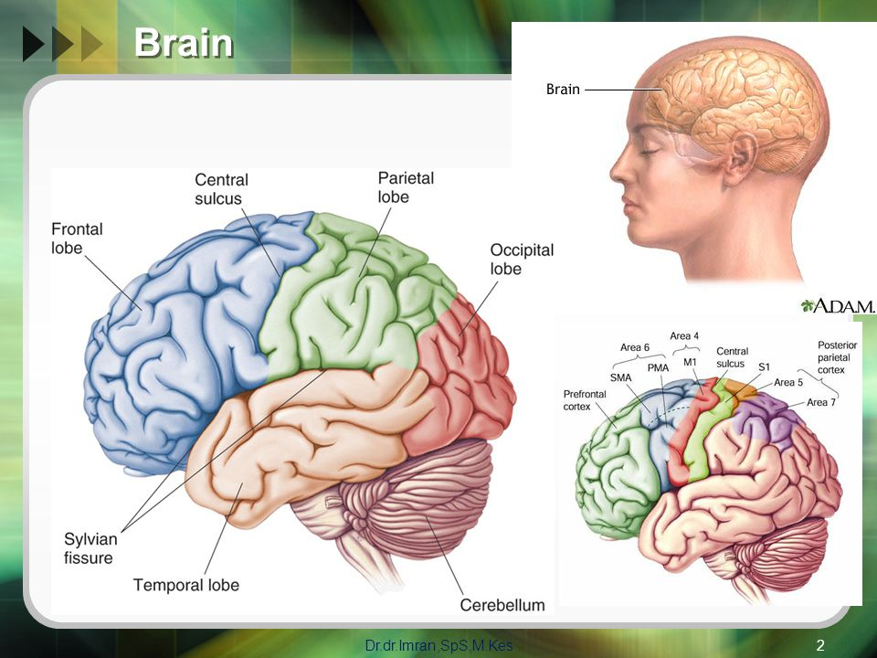 Brain Dr.dr.Imran,SpS,M.Kes2