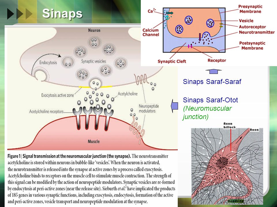 Sinaps (Sel Saraf  Sel Saraf )  Komponen sinaps  Neuron pre-sinaps Vesikel (neurotransmitter)  Celah sinaps (20-40nm)  Neuron post-sinaps Reseptor  Jenis sinaps  Aksodendritik  Aksoaksonik  Aksosomatik