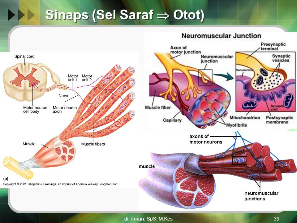Sinaps (Sel Saraf  Otot) dr. Imran, SpS, M.Kes39