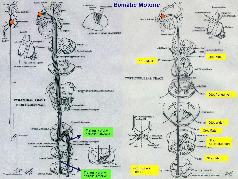 Otot Mata Otot Pengunyah Otot Wajah Otot Mata Otot Lidah Otot Bahu & Leher Traktus Kortiko- spinalis Lateralis Traktus Kortiko- spinalis Anterior Otot