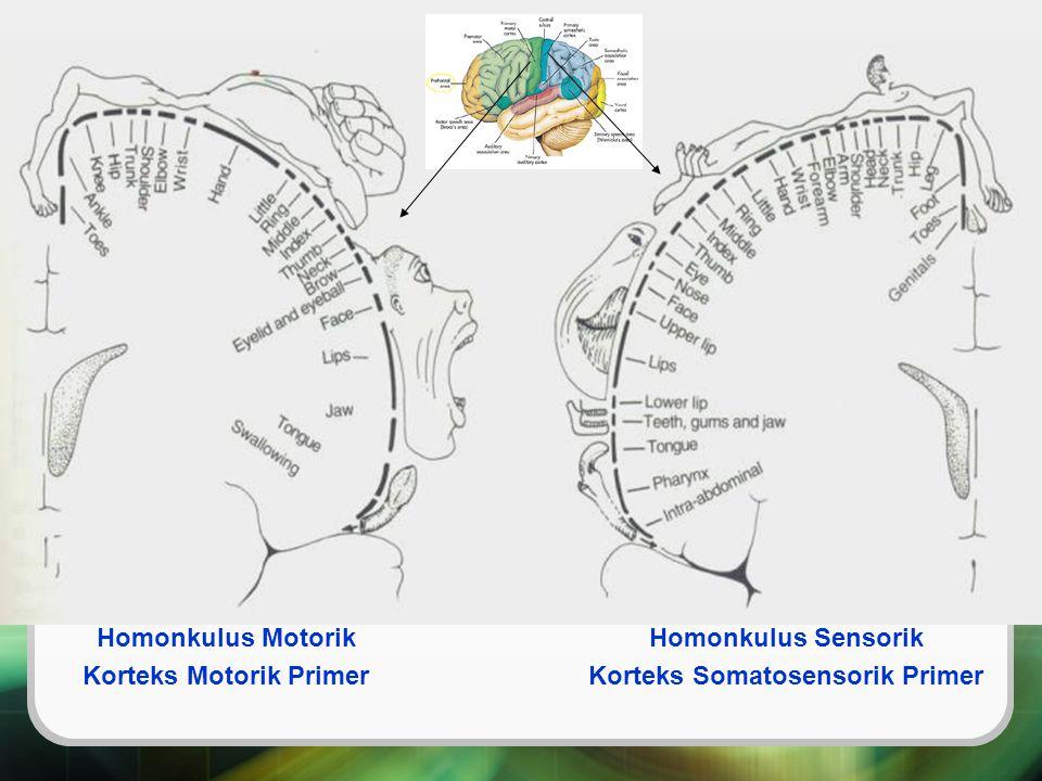Homonkulus Motorik Korteks Motorik Primer Homonkulus Sensorik Korteks Somatosensorik Primer