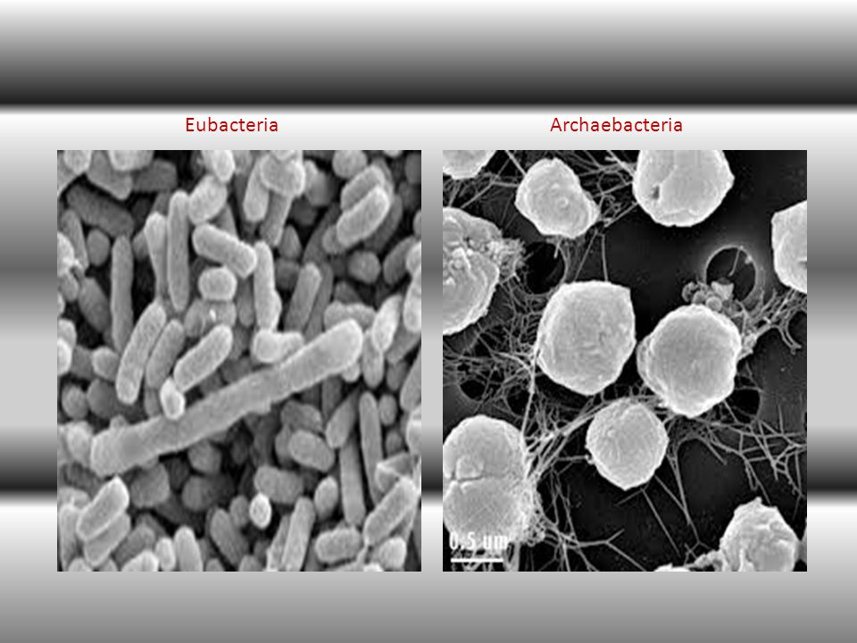 Kelompok sel lain yaitu eubacteria, merupakan bakteri yang hidup pada kondisi lingkungan yang tidak seekstrim kondisi tempat hidup archaebacteria (yang hidup pada suhu 100 o C, kadar garam tinggi, atau kadar asam tinggi.)