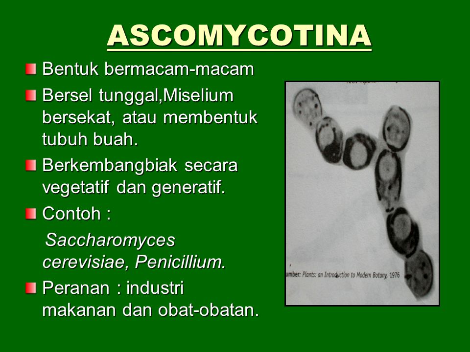 REPRODUKSI ASEKSUAL Rhizopus sp