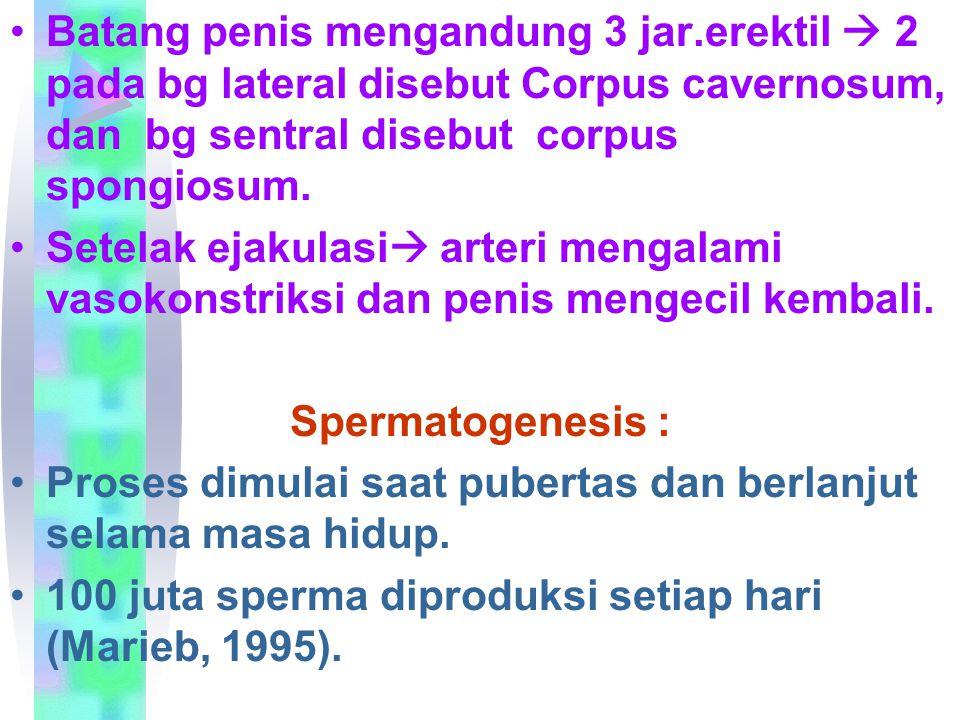 Batang penis mengandung 3 jar.erektil  2 pada bg lateral disebut Corpus cavernosum, dan bg sentral disebut corpus spongiosum. Setelak ejakulasi  art