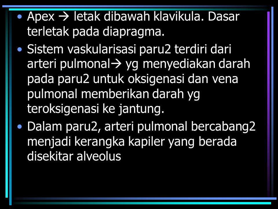 Apex  letak dibawah klavikula.Dasar terletak pada diapragma.