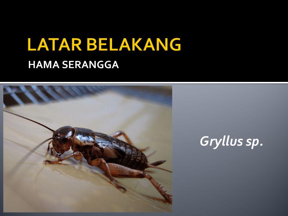 HAMA SERANGGA Gryllus sp.