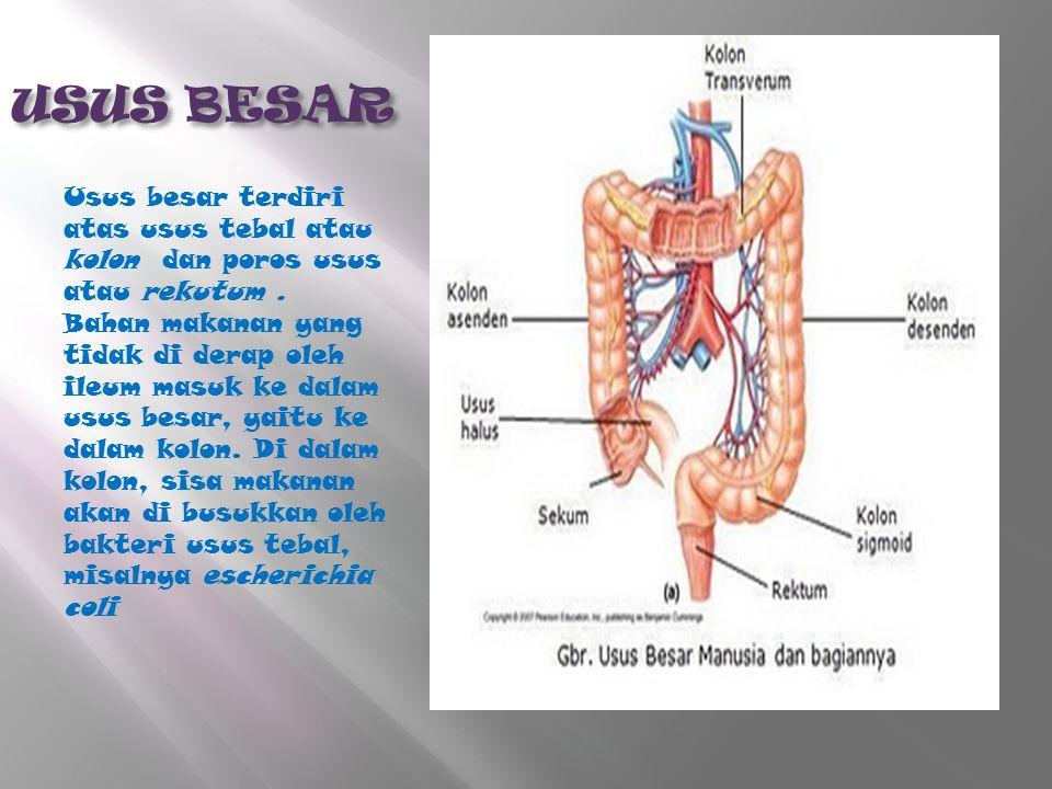 USUS BESAR Usus besar terdiri atas usus tebal atau kolon dan poros usus atau rekutum. Bahan makanan yang tidak di derap oleh ileum masuk ke dalam usus