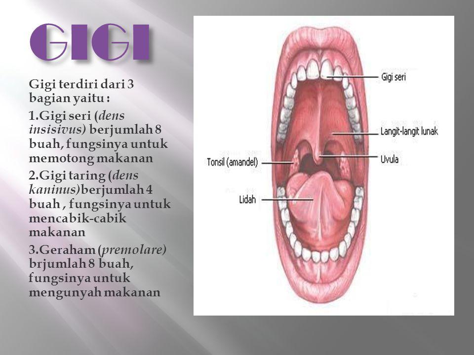 GIGI Gigi terdiri dari 3 bagian yaitu : 1.Gigi seri ( dens insisivus) berjumlah 8 buah, fungsinya untuk memotong makanan 2.Gigi taring ( dens kaninus)