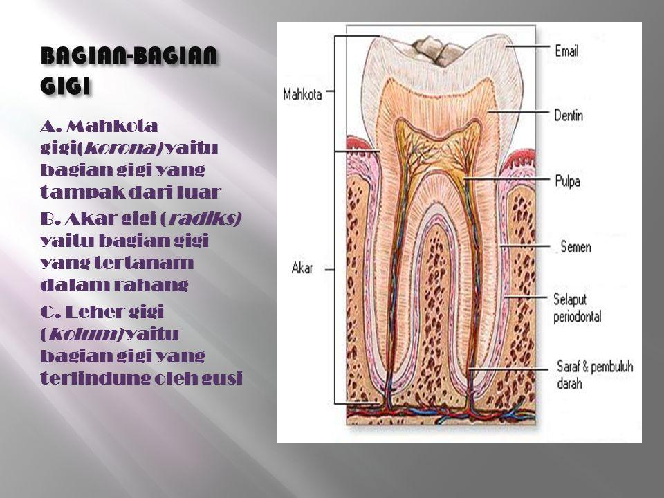 BAGIAN-BAGIAN GIGI A. Mahkota gigi(korona) yaitu bagian gigi yang tampak dari luar B. Akar gigi (radiks) yaitu bagian gigi yang tertanam dalam rahang