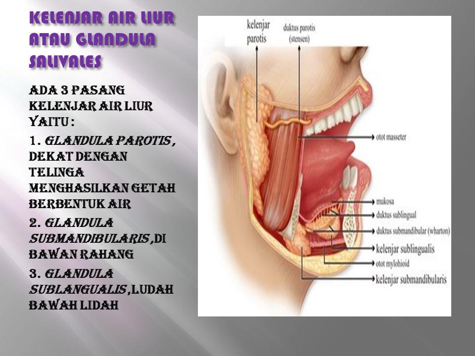 KELENJAR AIR LIUR ATAU GLANDULA SALIVALES Ada 3 pasang kelenjar air liur yaitu : 1. Glandula parotis, dekat dengan telinga menghasilkan getah berbentu