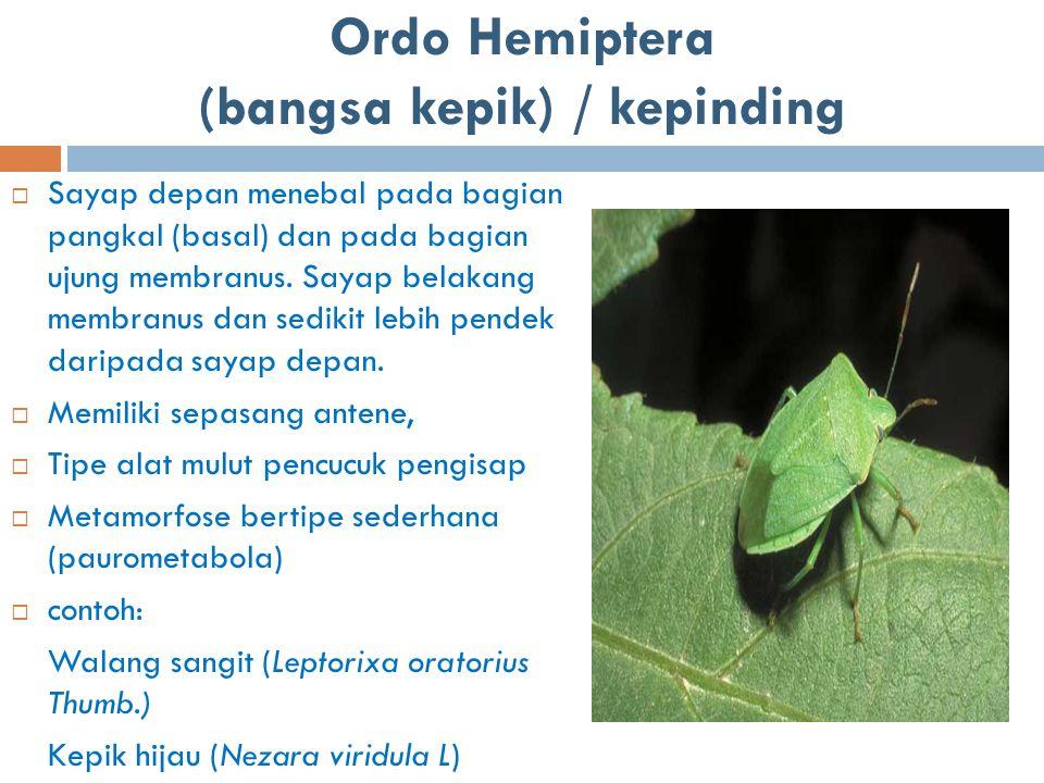 Ordo Hemiptera (bangsa kepik) / kepinding  Sayap depan menebal pada bagian pangkal (basal) dan pada bagian ujung membranus. Sayap belakang membranus
