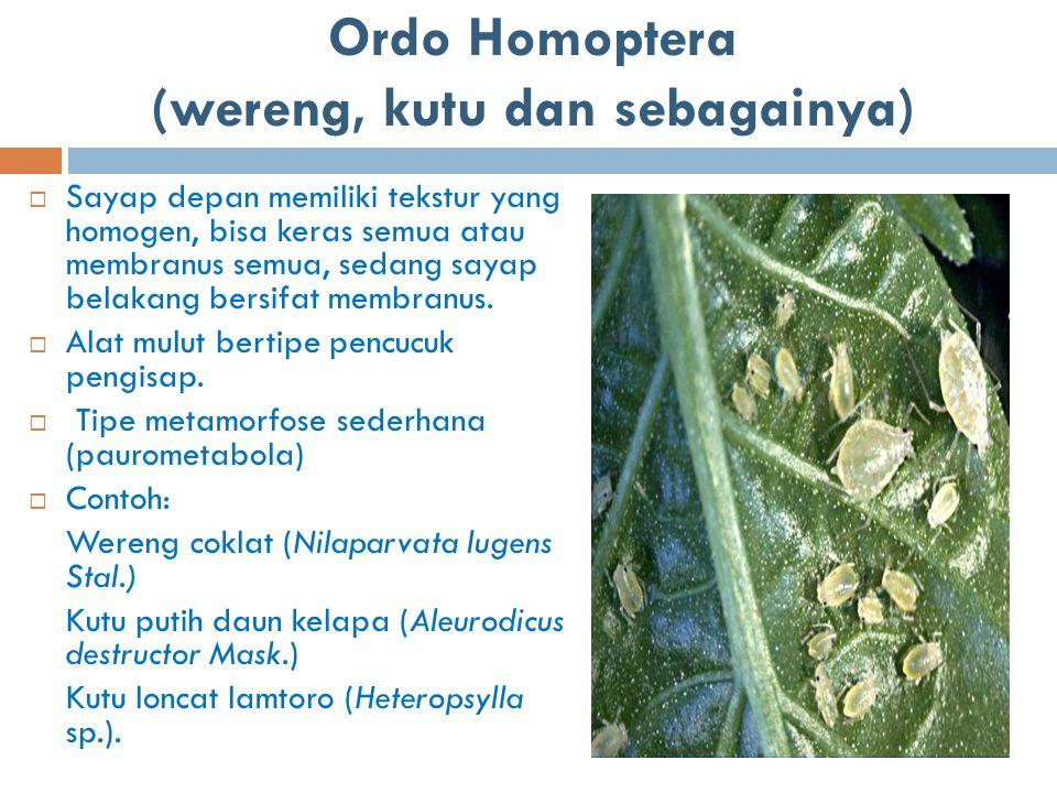 Ordo Homoptera (wereng, kutu dan sebagainya)  Sayap depan memiliki tekstur yang homogen, bisa keras semua atau membranus semua, sedang sayap belakang