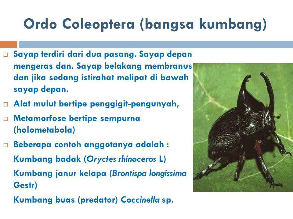 Ordo Coleoptera (bangsa kumbang)  Sayap terdiri dari dua pasang. Sayap depan mengeras dan. Sayap belakang membranus dan jika sedang istirahat melipat