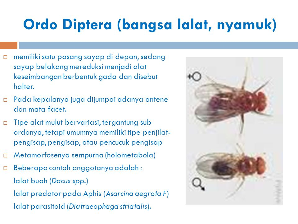 Ordo Diptera (bangsa lalat, nyamuk)  memiliki satu pasang sayap di depan, sedang sayap belakang mereduksi menjadi alat keseimbangan berbentuk gada da