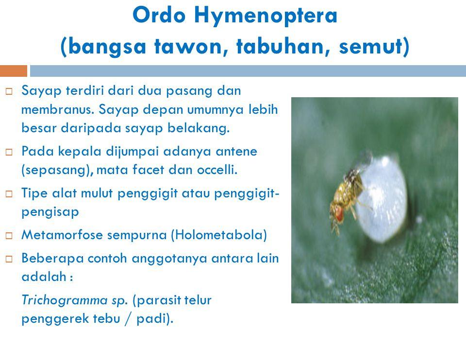 Ordo Hymenoptera (bangsa tawon, tabuhan, semut)  Sayap terdiri dari dua pasang dan membranus. Sayap depan umumnya lebih besar daripada sayap belakang
