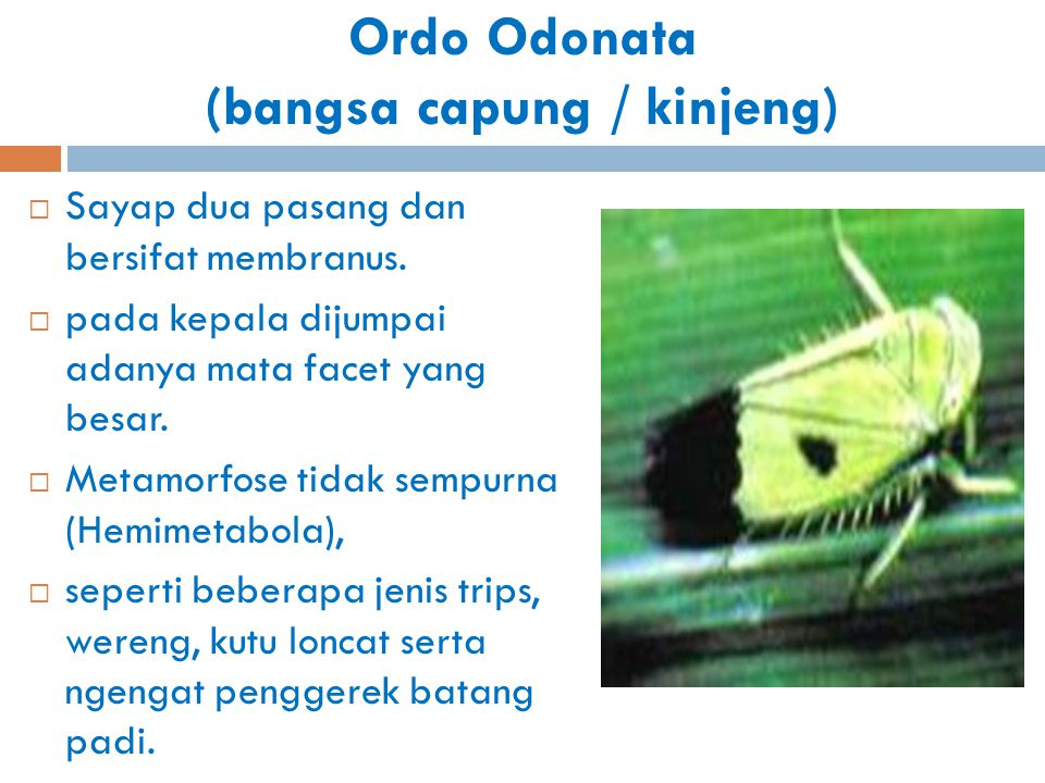 Ordo Odonata (bangsa capung / kinjeng)  Sayap dua pasang dan bersifat membranus.  pada kepala dijumpai adanya mata facet yang besar.  Metamorfose t