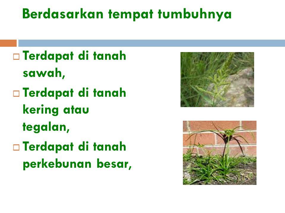 Berdasarkan tempat tumbuhnya  Terdapat di tanah sawah,  Terdapat di tanah kering atau tegalan,  Terdapat di tanah perkebunan besar,