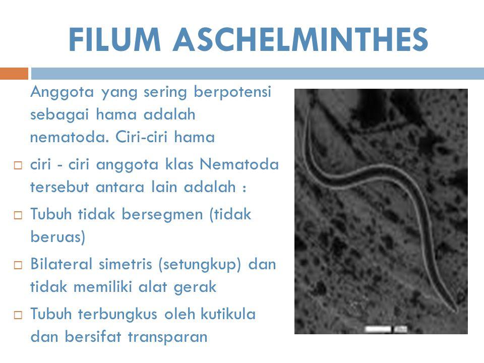 FILUM ASCHELMINTHES Anggota yang sering berpotensi sebagai hama adalah nematoda. Ciri-ciri hama  ciri - ciri anggota klas Nematoda tersebut antara la