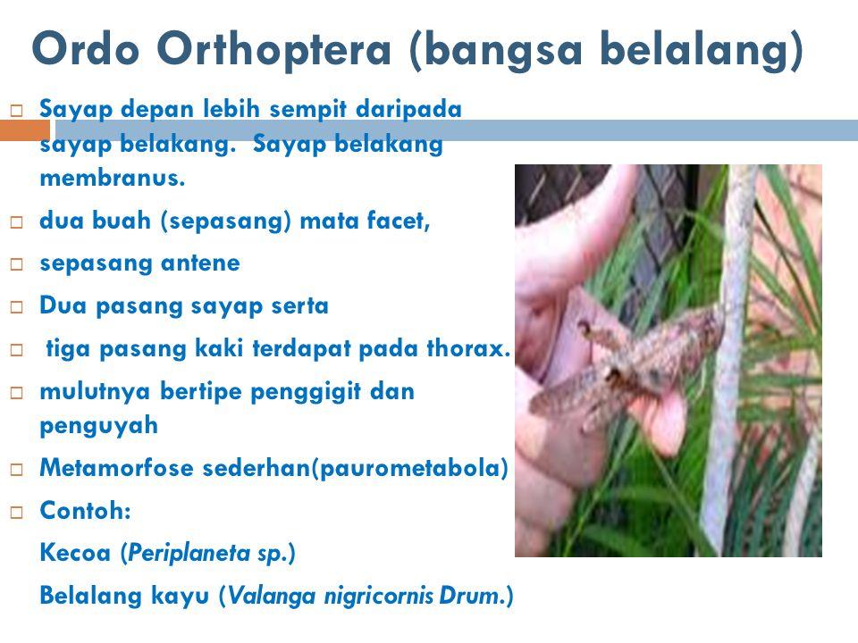 Ordo Orthoptera (bangsa belalang)  Sayap depan lebih sempit daripada sayap belakang. Sayap belakang membranus.  dua buah (sepasang) mata facet,  se