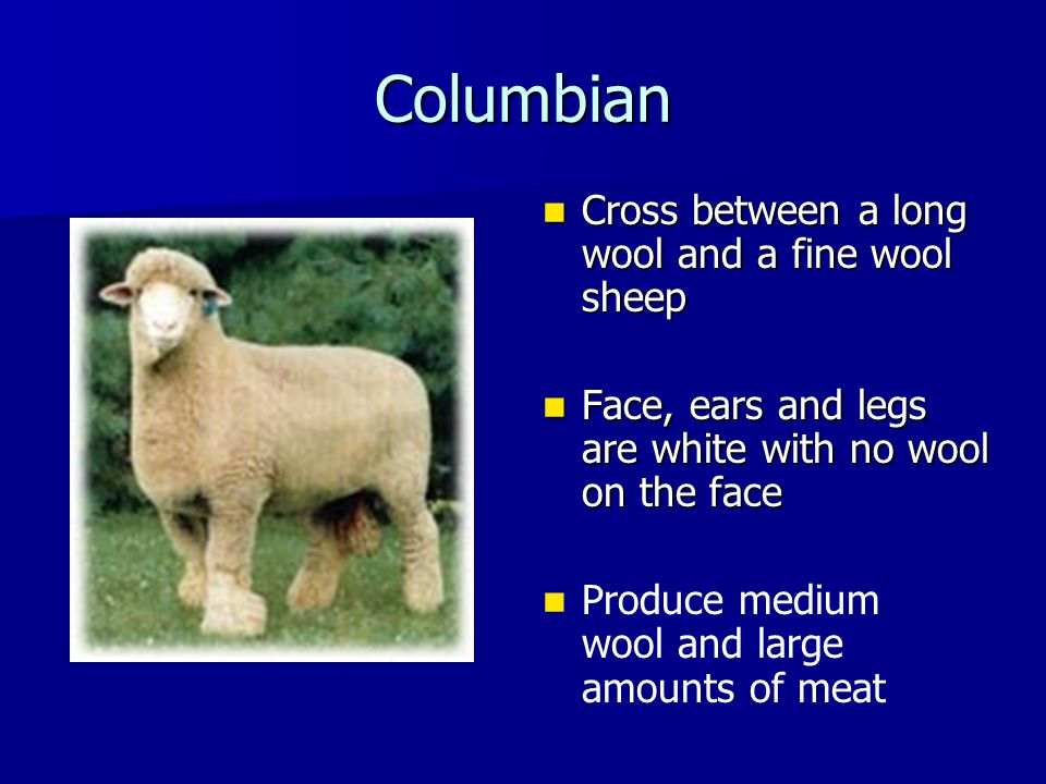 Columbian Cross between a long wool and a fine wool sheep Cross between a long wool and a fine wool sheep Face, ears and legs are white with no wool o