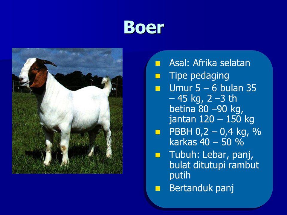 Boer Asal: Afrika selatan Tipe pedaging Umur 5 – 6 bulan 35 – 45 kg, 2 –3 th betina 80 –90 kg, jantan 120 – 150 kg PBBH 0,2 – 0,4 kg, % karkas 40 – 50 % Tubuh: Lebar, panj, bulat ditutupi rambut putih Bertanduk panj Asal: Afrika selatan Tipe pedaging Umur 5 – 6 bulan 35 – 45 kg, 2 –3 th betina 80 –90 kg, jantan 120 – 150 kg PBBH 0,2 – 0,4 kg, % karkas 40 – 50 % Tubuh: Lebar, panj, bulat ditutupi rambut putih Bertanduk panj