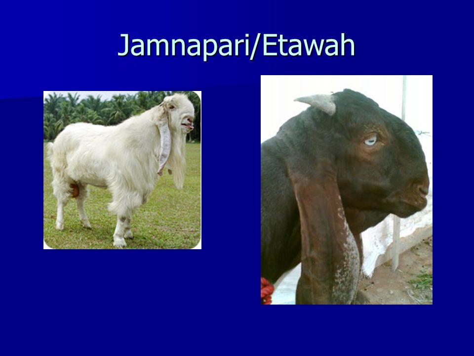 Jamnapari/Etawah