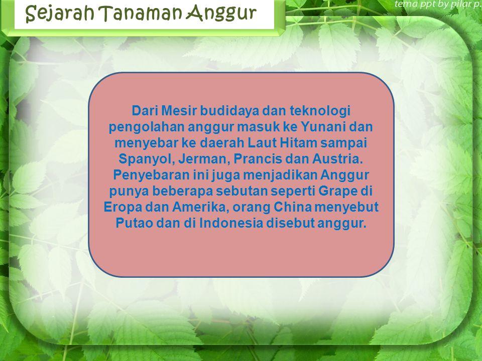 Jenis buah import yang telah lama dikenal dan dibudidayakan di Indonesia antara lain anggur.