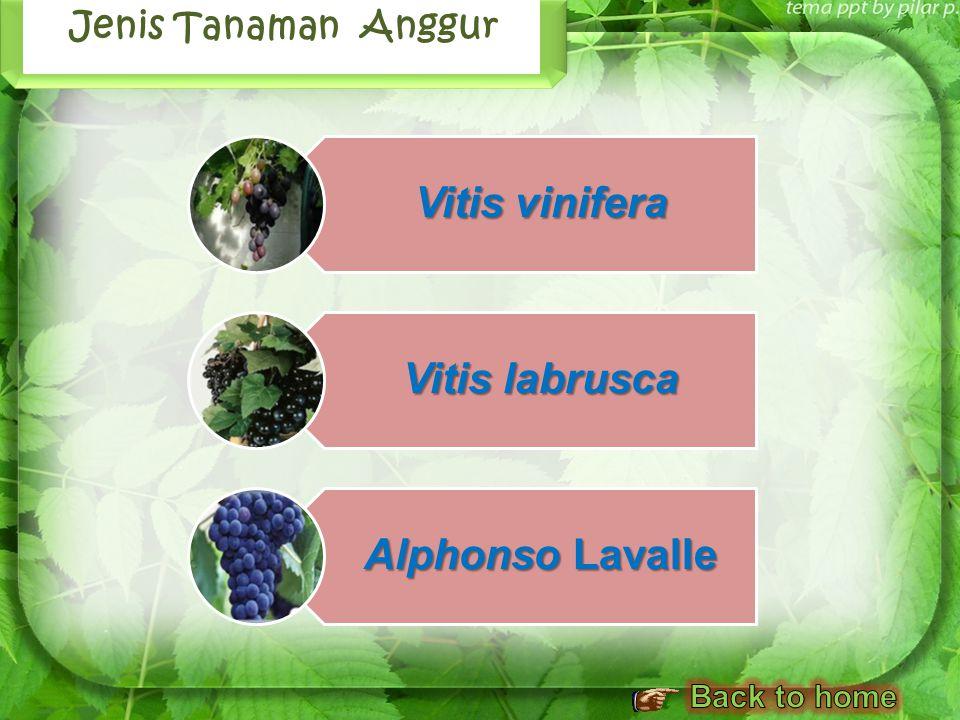 Sejarah Tanaman Anggur Jenis Tanaman Anggur Kandungan dan Manfaat Anggur Budidaya Tanaman Anggur Standar Produksi Gambaran Peluang Agribisnis