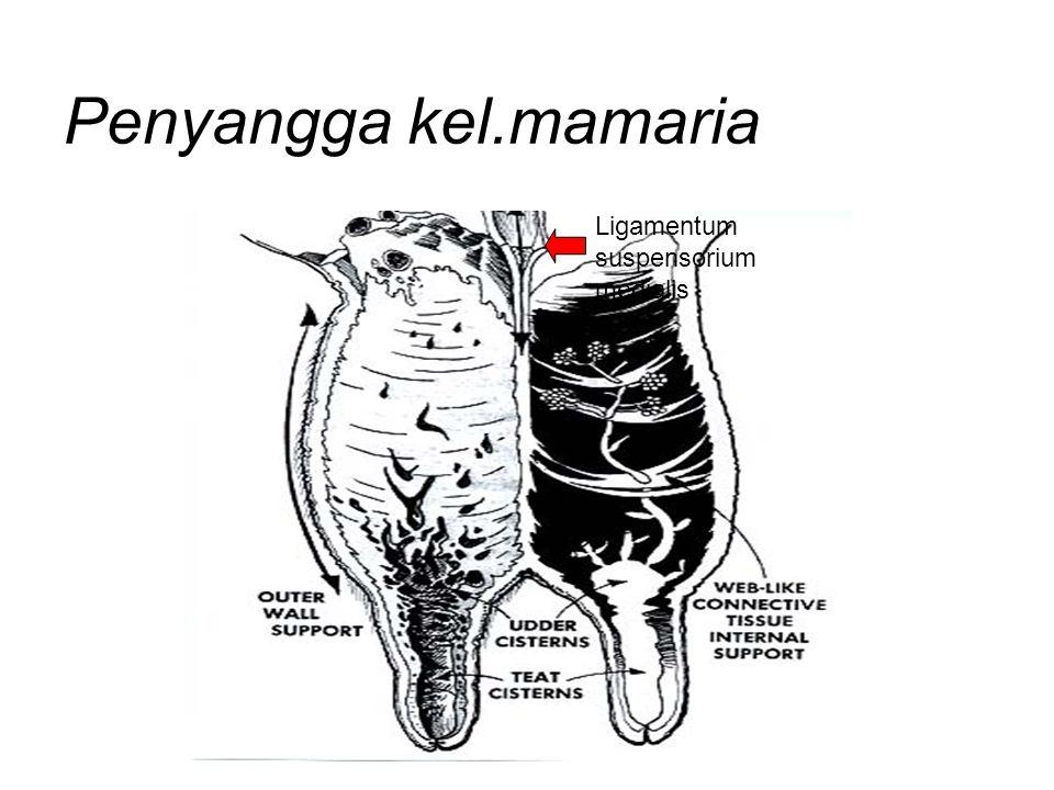 Penyangga kel.mamaria Ligamentum suspensorium medialis