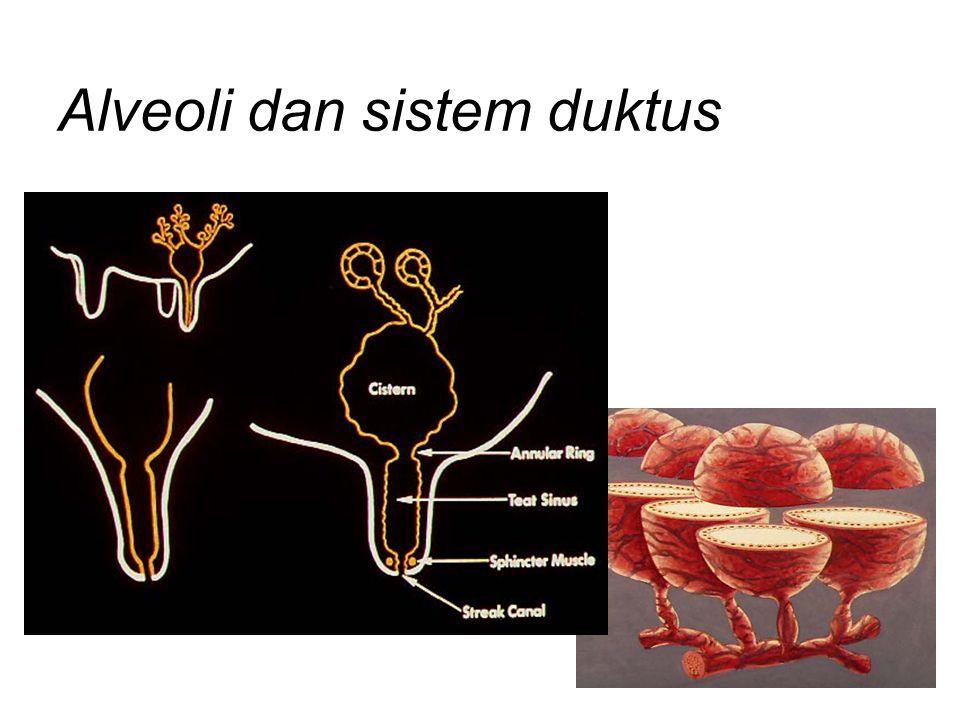 Alveoli dan sistem duktus