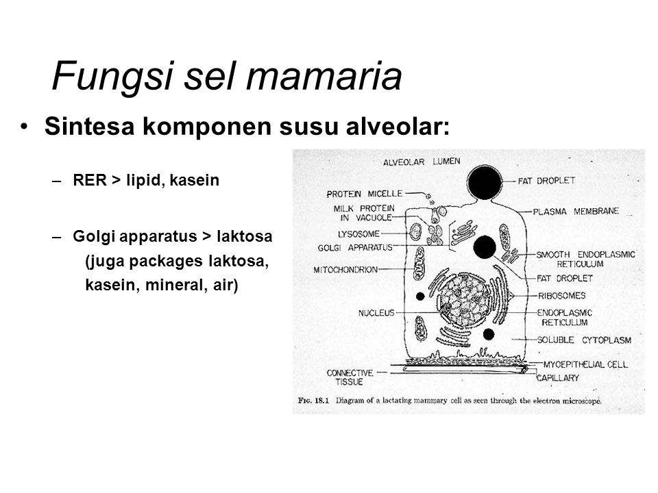 Fungsi sel mamaria Sintesa komponen susu alveolar: –RER > lipid, kasein –Golgi apparatus > laktosa (juga packages laktosa, kasein, mineral, air)