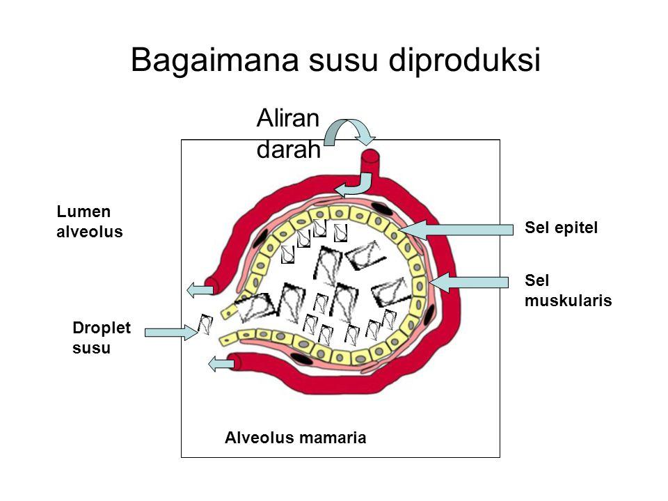 Bagaimana susu diproduksi Aliran darah Sel epitel Sel muskularis Lumen alveolus Alveolus mamaria Droplet susu