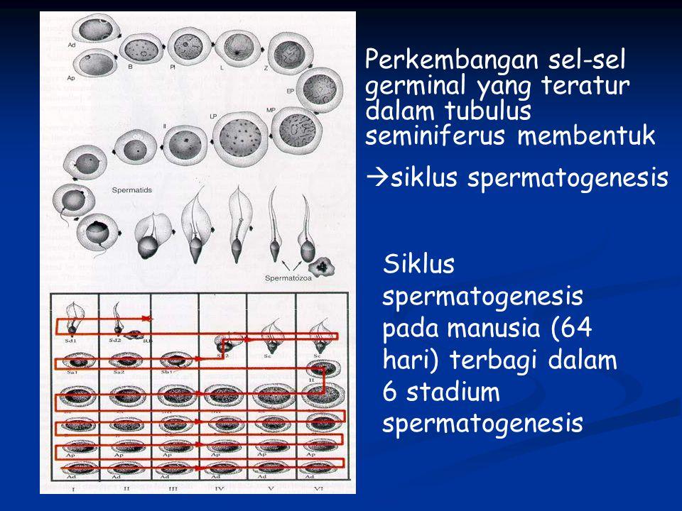 Siklus spermatogenesis pada manusia (64 hari) terbagi dalam 6 stadium spermatogenesis Perkembangan sel-sel germinal yang teratur dalam tubulus seminiferus membentuk  siklus spermatogenesis