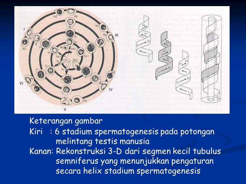 Keterangan gambar Kiri : 6 stadium spermatogenesis pada potongan melintang testis manusia Kanan: Rekonstruksi 3-D dari segmen kecil tubulus semniferus yang menunjukkan pengaturan secara helix stadium spermatogenesis