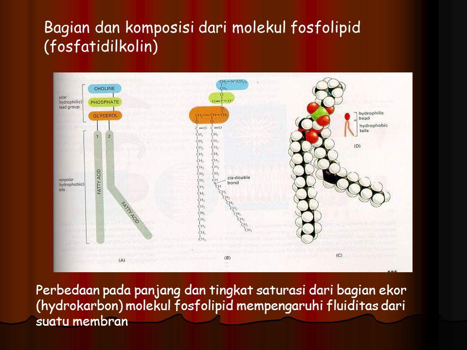 Bagian dan komposisi dari molekul fosfolipid (fosfatidilkolin) Perbedaan pada panjang dan tingkat saturasi dari bagian ekor (hydrokarbon) molekul fosf