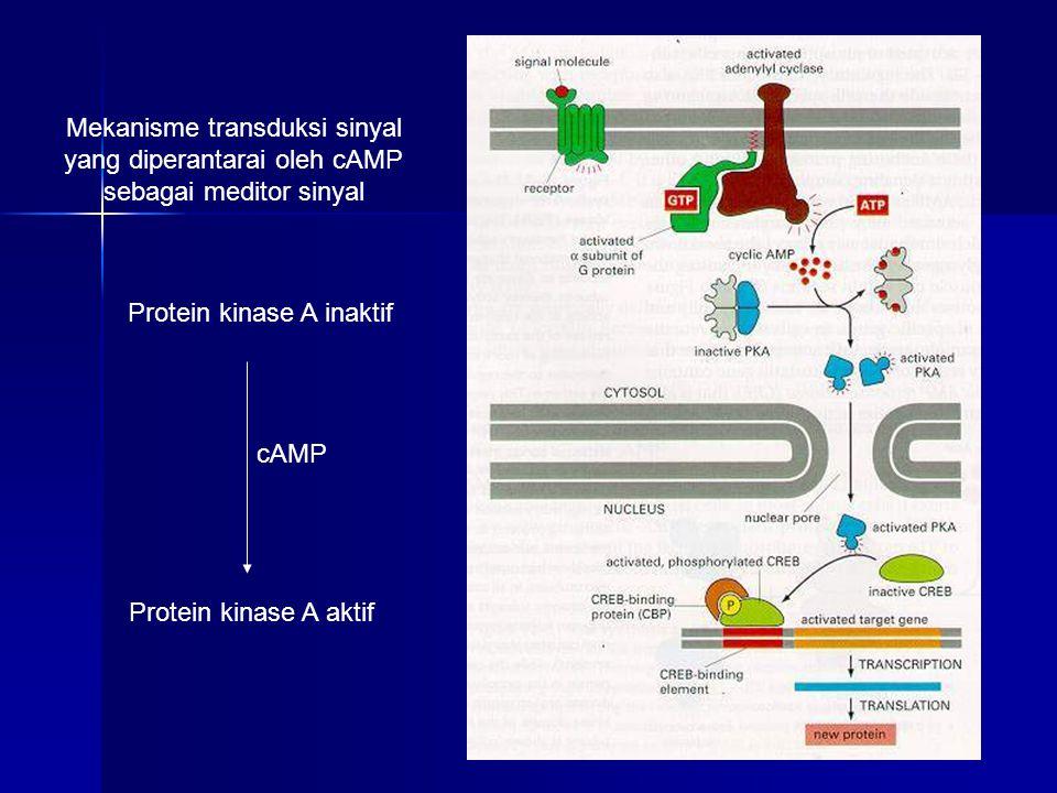 Mekanisme transduksi sinyal yang diperantarai oleh cAMP sebagai meditor sinyal Protein kinase A inaktif Protein kinase A aktif cAMP