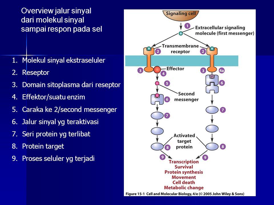 Molekul sinyal ekstraseluler, terdiri atas golongan/jenis : 1.Molekul kecil, spt asam amino dan turunannya Cth: glutamat, glisin, asetilkolin, epineprin Bertindak sbg hormon dan neurotransmiter 2.