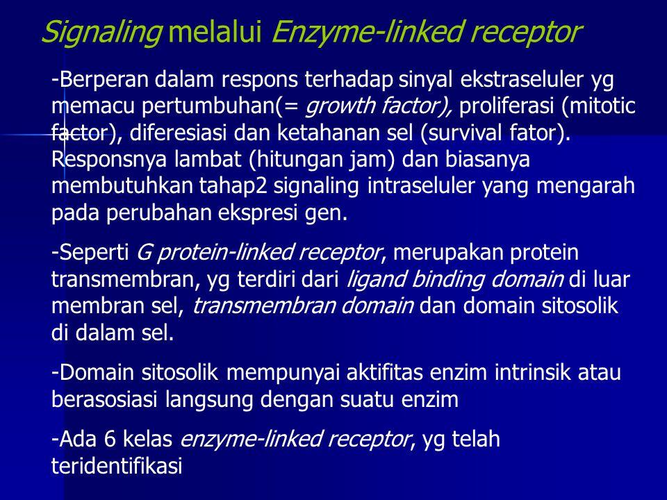 Signaling melalui Enzyme-linked receptor -Berperan dalam respons terhadap sinyal ekstraseluler yg memacu pertumbuhan(= growth factor), proliferasi (mi