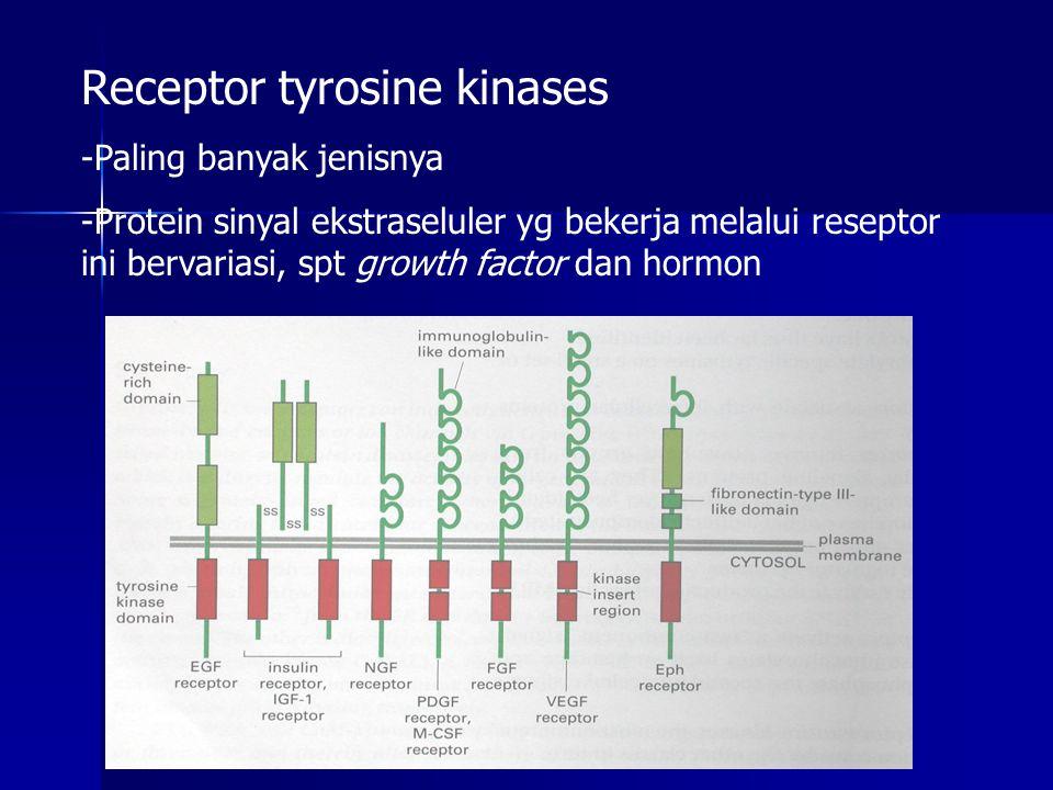 Receptor tyrosine kinases -Paling banyak jenisnya -Protein sinyal ekstraseluler yg bekerja melalui reseptor ini bervariasi, spt growth factor dan horm
