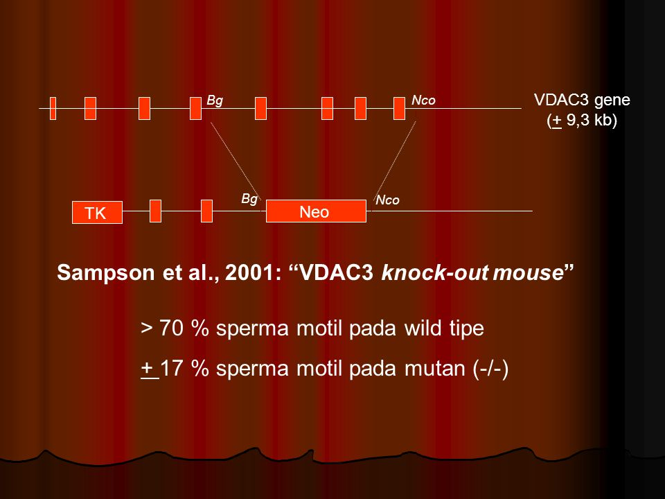 "VDAC3 gene (+ 9,3 kb) Sampson et al., 2001: ""VDAC3 knock-out mouse"" BgNco Neo TK Bg Nco > 70 % sperma motil pada wild tipe + 17 % sperma motil pada mu"