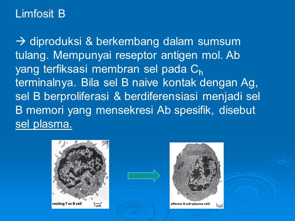 Limfosit B  diproduksi & berkembang dalam sumsum tulang. Mempunyai reseptor antigen mol. Ab yang terfiksasi membran sel pada C h terminalnya. Bila se