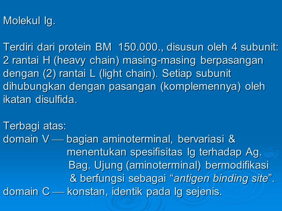 Molekul Ig. Terdiri dari protein BM 150.000., disusun oleh 4 subunit: 2 rantai H (heavy chain) masing-masing berpasangan dengan (2) rantai L (light ch
