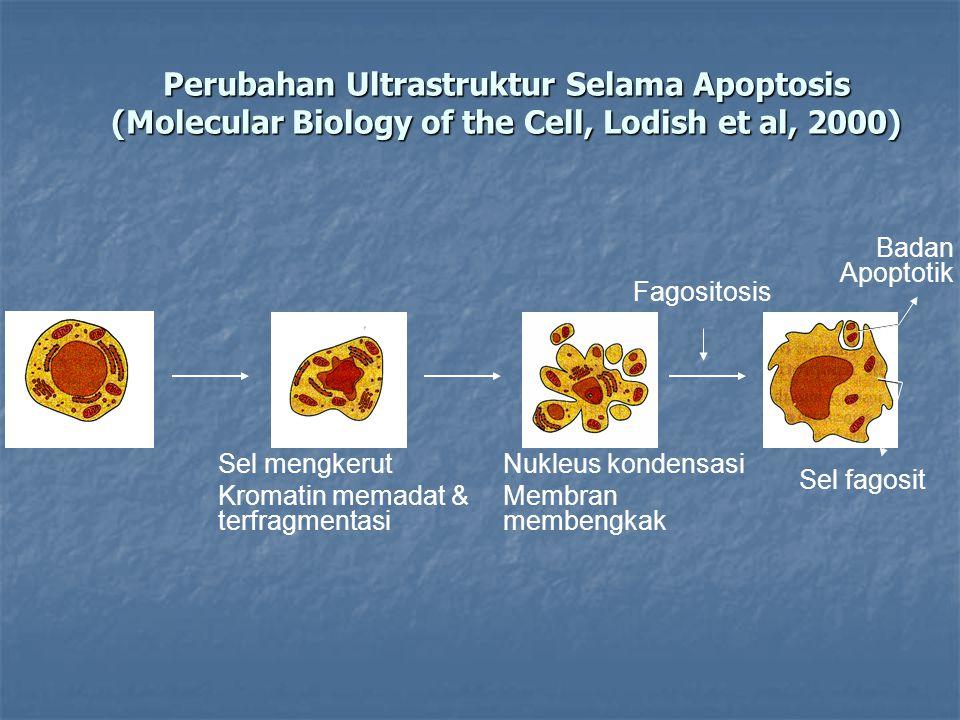 Perubahan Ultrastruktur Selama Apoptosis (Molecular Biology of the Cell, Lodish et al, 2000) Sel mengkerut Kromatin memadat & terfragmentasi Nukleus kondensasi Membran membengkak Fagositosis Badan Apoptotik Sel fagosit