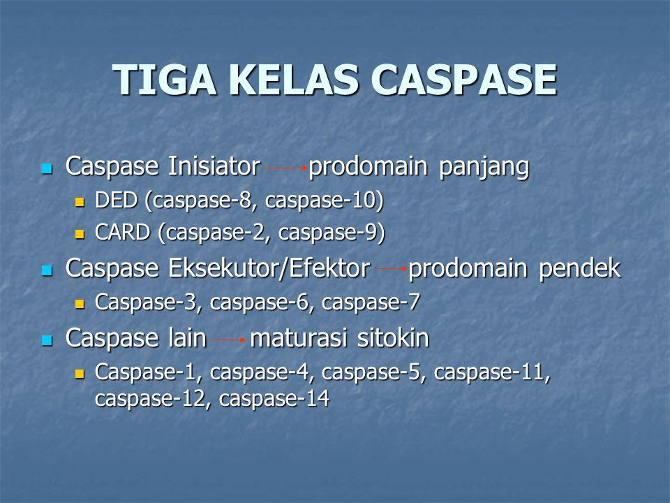 TIGA KELAS CASPASE Caspase Inisiatorprodomain panjang Caspase Inisiatorprodomain panjang DED (caspase-8, caspase-10) DED (caspase-8, caspase-10) CARD