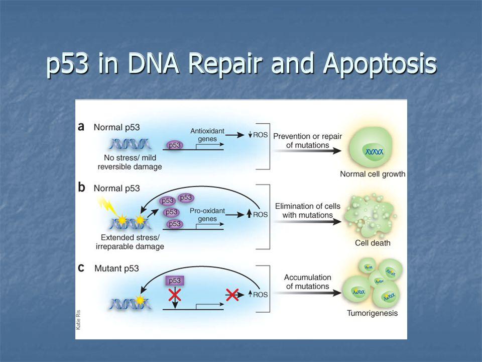 p53 in DNA Repair and Apoptosis