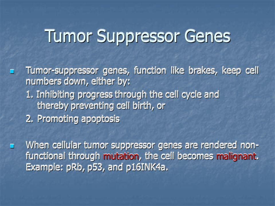 Tumor Suppressor Genes Tumor-suppressor genes, function like brakes, keep cell numbers down, either by: Tumor-suppressor genes, function like brakes, keep cell numbers down, either by: 1.