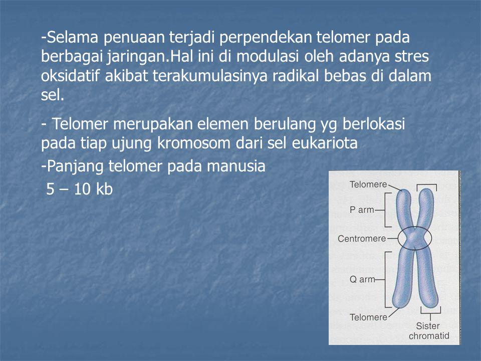 -Selama penuaan terjadi perpendekan telomer pada berbagai jaringan.Hal ini di modulasi oleh adanya stres oksidatif akibat terakumulasinya radikal beba