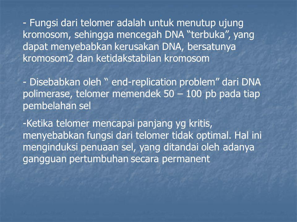 - Fungsi dari telomer adalah untuk menutup ujung kromosom, sehingga mencegah DNA terbuka , yang dapat menyebabkan kerusakan DNA, bersatunya kromosom2 dan ketidakstabilan kromosom - Disebabkan oleh end-replication problem dari DNA polimerase, telomer memendek 50 – 100 pb pada tiap pembelahan sel -Ketika telomer mencapai panjang yg kritis, menyebabkan fungsi dari telomer tidak optimal.